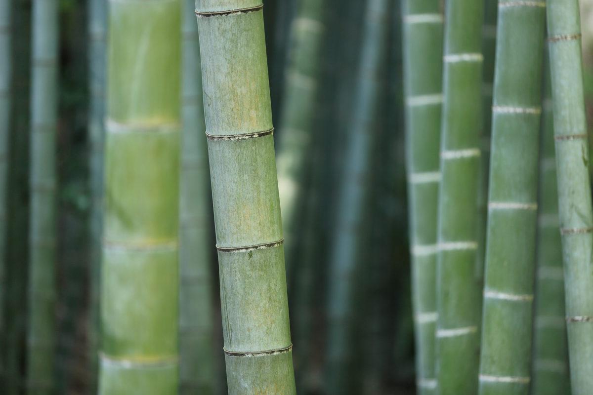 Bambú, una brillante alternativa